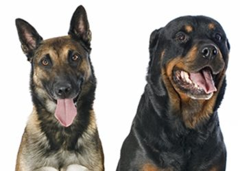 German Shepard and Rotteweiler